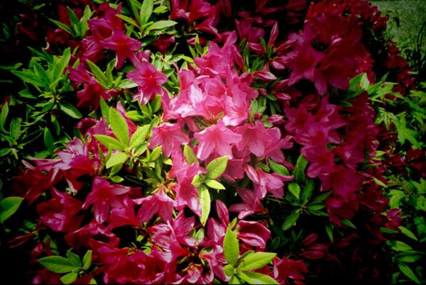 Azalea -Blooms here and there-_b0081177_9552012.jpg