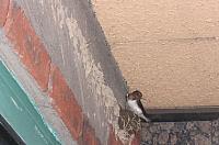 ツバメの巣作り・・・パート2.とうとう撮った!!_e0092612_840573.jpg
