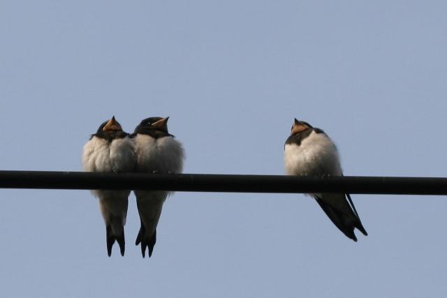ツバメの幼鳥・こんな家で巣立ちできればいいね。_f0037633_22412162.jpg