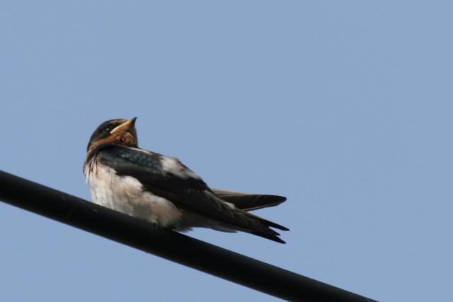 ツバメの幼鳥・こんな家で巣立ちできればいいね。_f0037633_2243457.jpg