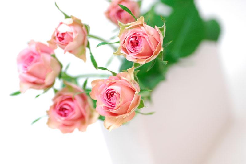 バラ ペピータ ピンク