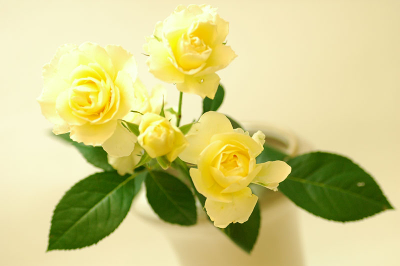 バラ ハニーレモン 黄色