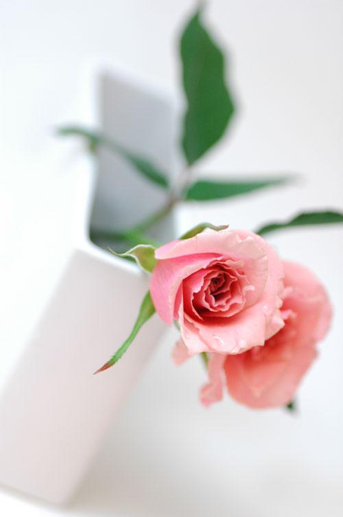 バラ テンダー ピンク