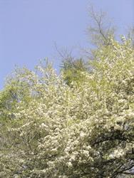 コナシが咲いて。_d0028589_21531458.jpg