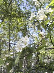 コナシが咲いて。_d0028589_21533225.jpg