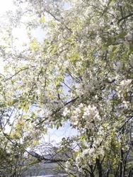 コナシが咲いて。_d0028589_21534610.jpg