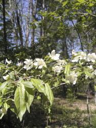 コナシが咲いて。_d0028589_215425.jpg