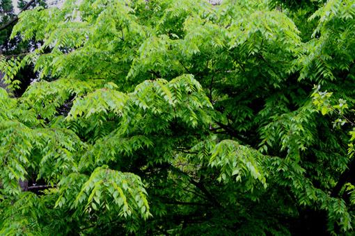庭のケヤキ_e0054299_16533989.jpg