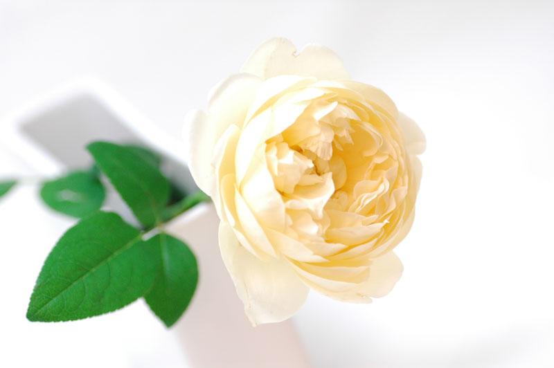 バラ アンブリッチローズ 黄色