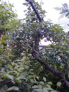 庭の樹木と花~その3_b0089338_1932495.jpg