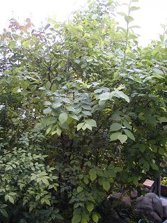 庭の樹木と花~その3_b0089338_19351832.jpg