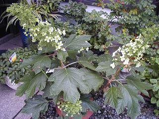庭の樹木と花~その4_b0089338_23514881.jpg
