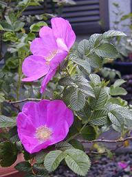 庭の樹木と花~その4_b0089338_23562872.jpg
