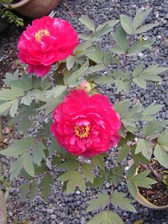 庭の樹木と花~その2_b0089338_9425514.jpg