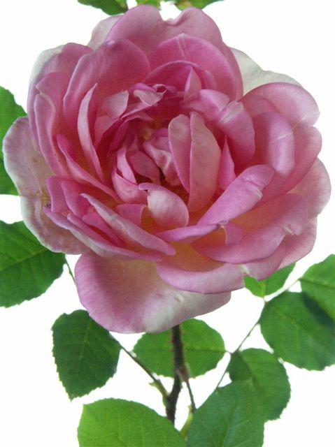 薔薇の名前……なぜ原文のままか。_e0044929_633462.jpg