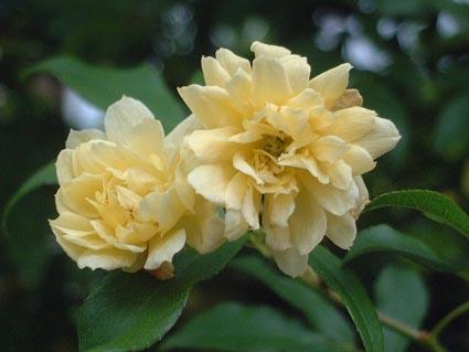 モッコウバラが、咲いた_f0019498_19283180.jpg
