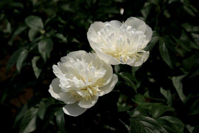 神代植物公園の芍薬_f0044056_1614141.jpg