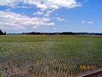 暫らくぶりの快晴です。田んぼの稲もぶどうも嬉しそうです。_d0026905_20563945.jpg