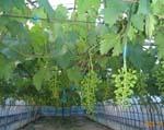 暫らくぶりの快晴です。田んぼの稲もぶどうも嬉しそうです。_d0026905_2102656.jpg
