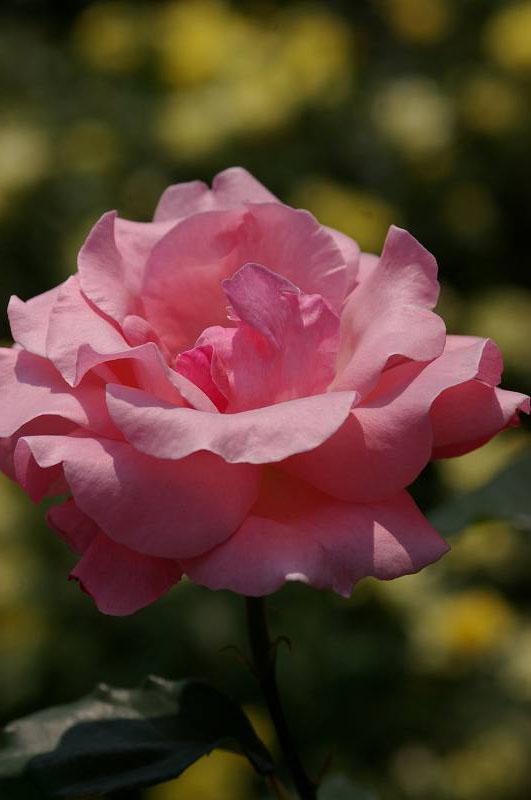 バラが咲いた(2)_d0043136_20362922.jpg