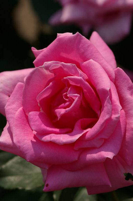 バラが咲いた(2)_d0043136_20382743.jpg