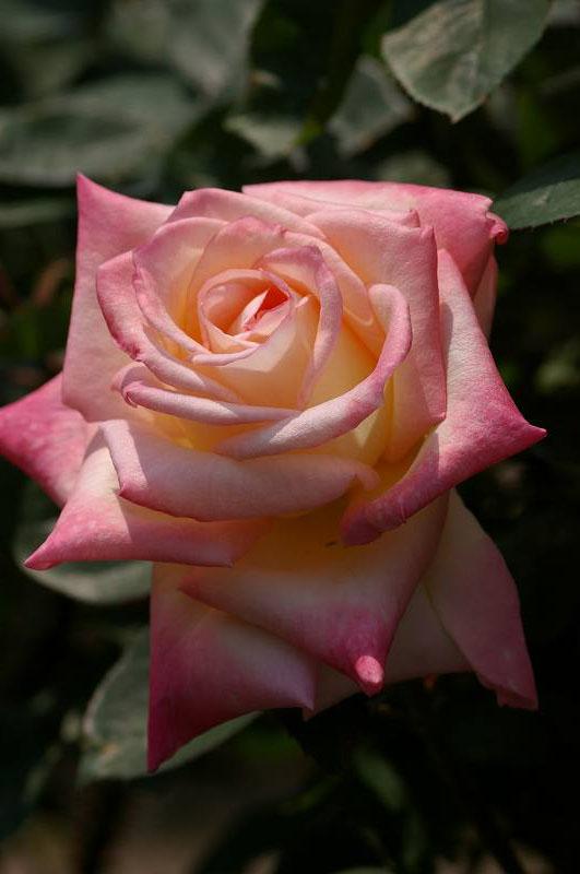 バラが咲いた(2)_d0043136_20391747.jpg