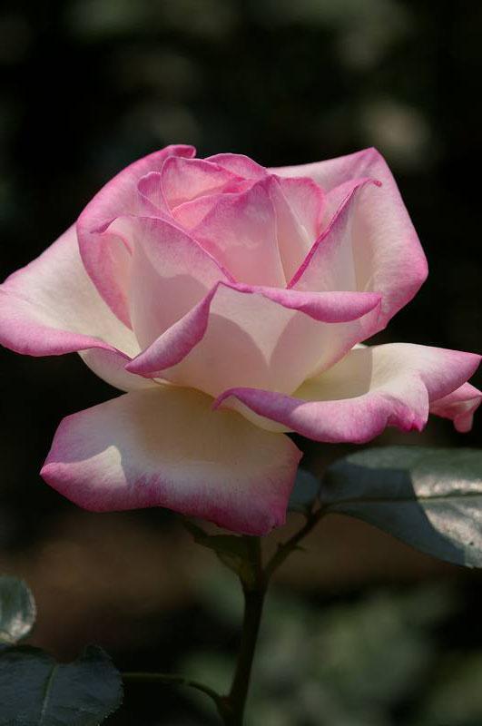 バラが咲いた(2)_d0043136_20411563.jpg