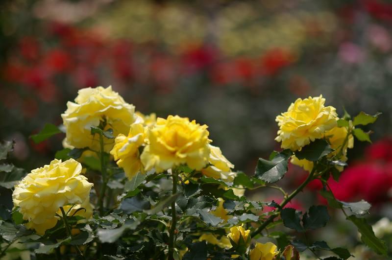 バラが咲いた(2)_d0043136_20442788.jpg
