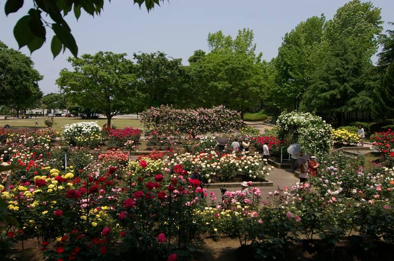バラが咲いた(2)_d0043136_20444942.jpg