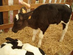 再び牛祭り_f0106597_1414695.jpg