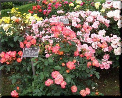神代植物園のバラ園_c0073016_214862.jpg