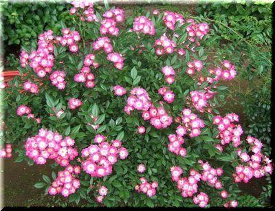 神代植物園のバラ園_c0073016_2255596.jpg