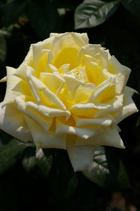 バラが咲いた(3)_d0043136_20251034.jpg