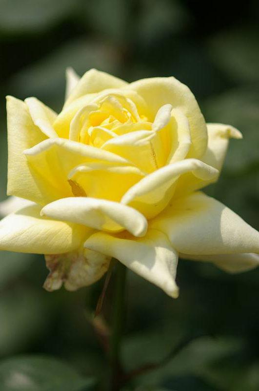バラが咲いた(3)_d0043136_20265731.jpg