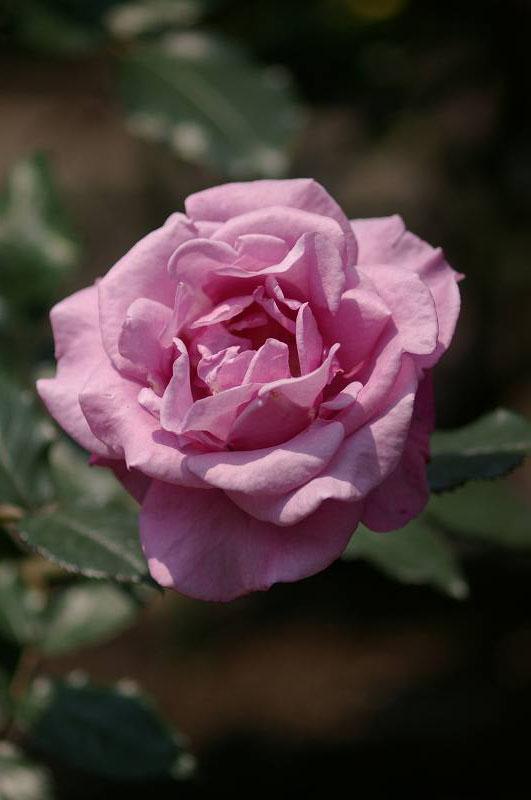 バラが咲いた(3)_d0043136_20274339.jpg