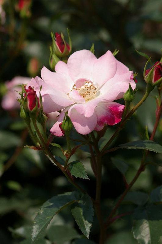 バラが咲いた(3)_d0043136_202983.jpg