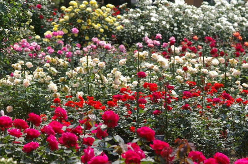 バラが咲いた(3)_d0043136_20324280.jpg