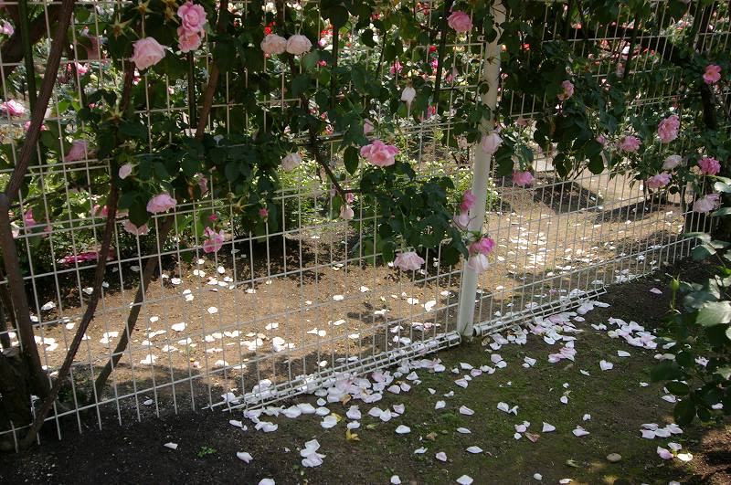バラが咲いた(3)_d0043136_2033848.jpg