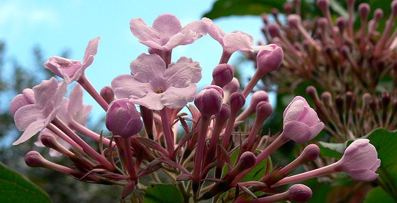 (花) ルクリア Luculia_b0015002_7344891.jpg