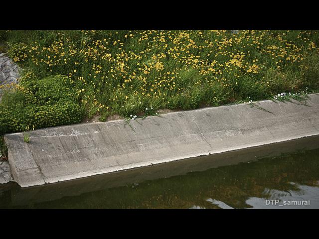 川辺に咲いている花_a0054755_1714251.jpg