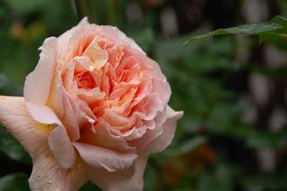 Roses on 5/18_f0057564_121734.jpg
