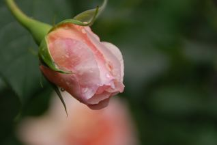 Roses on 5/18_f0057564_123078.jpg