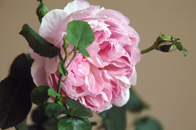 Roses on 5/20 _f0057564_12361039.jpg