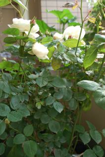 Roses on 5/20 _f0057564_12391677.jpg
