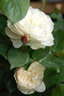 Roses on 5/20 _f0057564_12393285.jpg