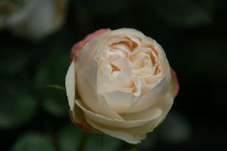 Roses on 5/20 _f0057564_12394588.jpg