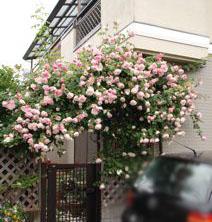 Roses on 5/18_f0057564_124849.jpg