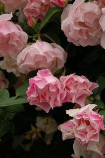 Roses on 5/18_f0057564_13455.jpg