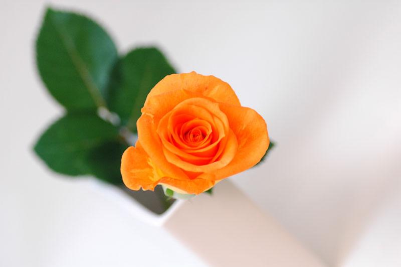 バラ パレオ オレンジ