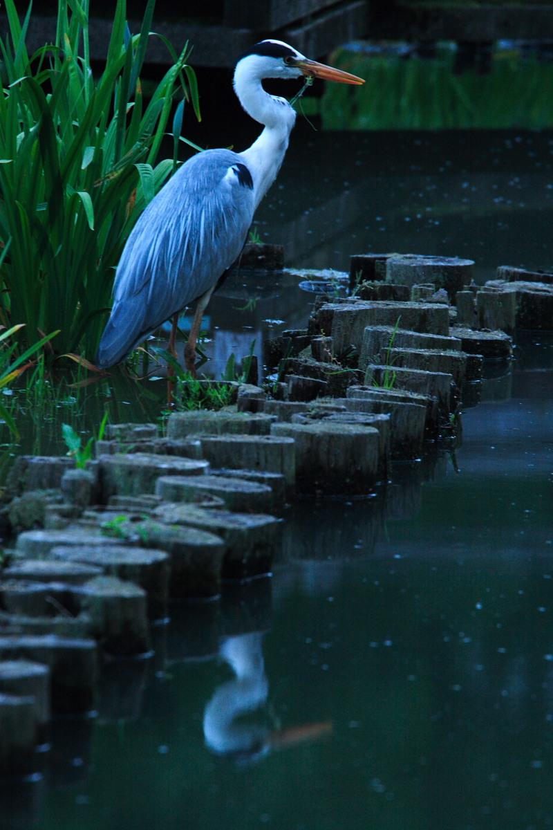 鷺 山田池公園_f0021869_113991.jpg